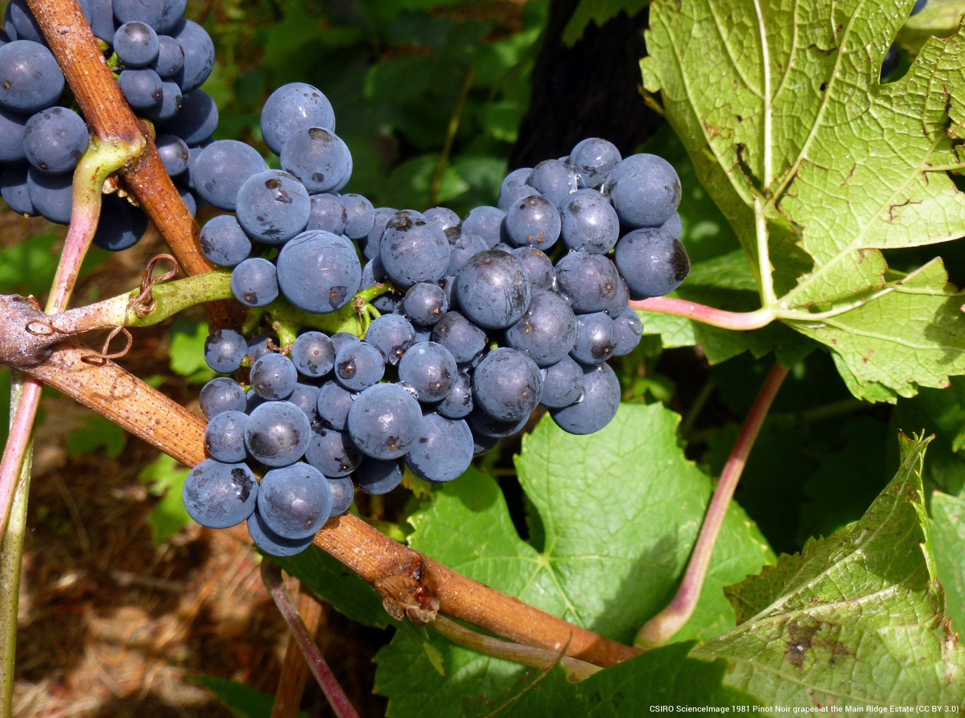 CSIRO ScienceImage Pinot Noir Grapes